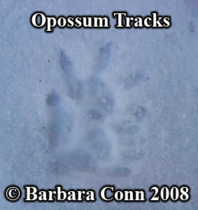 Opossum track pair in snow. Photo copyright Barbara Conn 2008.
