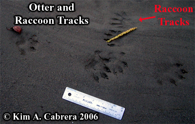 River otter tracks and raccoon footprints. Photo copyright Kim A. Cabrera 2006.