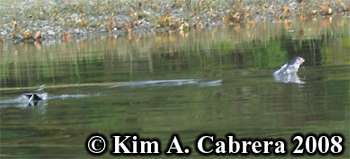 River otters. Photo copyright Kim A. Cabrera 2008.