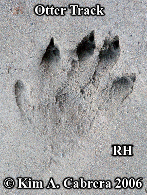 River                       otter track, right hind foot. Photo copyright Kim                       A. Cabrera 2006.