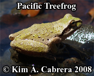 Treefrog or chorus frog? The problem with common names. Photo copyright by Kim A. Cabrera 2008.