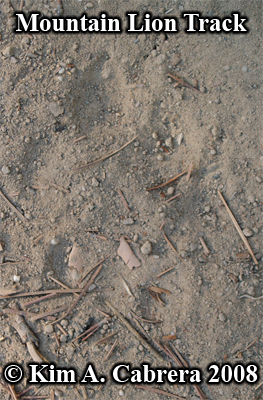 Right mountain lion track. Photo copyright by Kim A. Cabrera 2008.