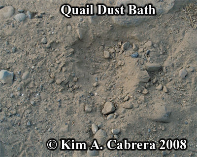 Quail dust bath. Photo copyright by Kim A. Cabrera 2008.