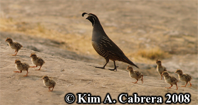 Quail family. Photo copyright by Kim A. Cabrera 2008.
