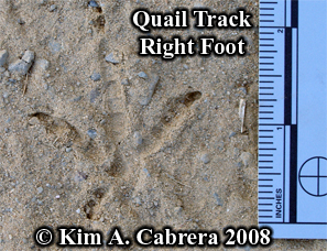 Right track of a quail. Photo copyright by Kim A. Cabrera 2008.