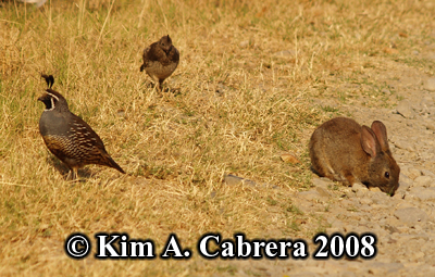 Quails                     and Brush rabbit. Photo copyright by Kim A. Cabrera                     2008.
