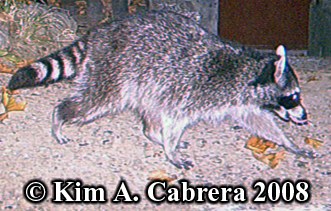 Raccoon. Photo copyright by Kim A. Cabrera 2008.