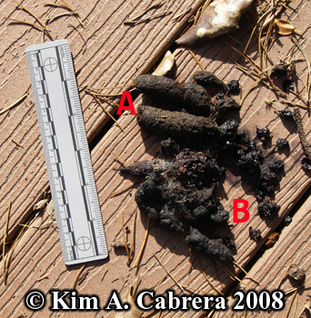 Raccoon and gray fox scats. Photo copyright Kim A. Cabrera 2008.