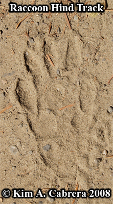Raccoon hind track in dust. Photo copyright by Kim A. Cabrera 2008.