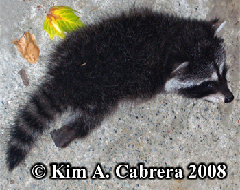 Raccoon kit. Photo by Kim A. Cabrera 2008.