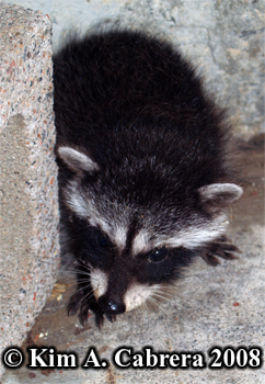 Raccoon kit. Photo copyright Kim A. Cabrera 2008.