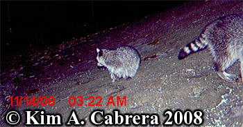 Raccoon kit looking backward. Photo copyright Kim A. Cabrera 2008.
