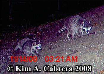 Three raccoons. Photo copyright Kim A. Cabrera 2008.