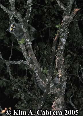 Two raccoons watching me from a tree perch. Photo copyright by Kim A. Cabrera 2005.