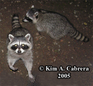 Raccoons near my porch. Phoyo copyright by Kim A. Cabrera 2005.