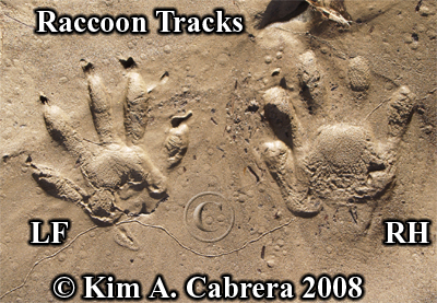 Raccoon track pair. Photo copyright by Kim A. Cabrera 2008.