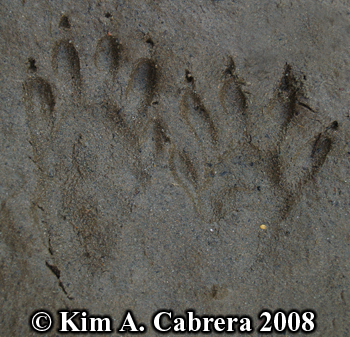 Raccoon footprint pair in sand. Photo copyright Kim A. Cabrera 2008.