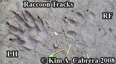 Raccoon track pair in mud. Photo copyright by Kim A. Cabrera 2008.