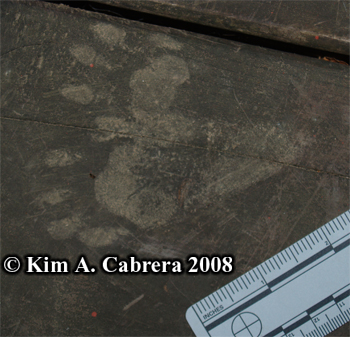 Raccoon tracks on wood deck. Phoyo copyright by Kim A. Cabrera 2008.