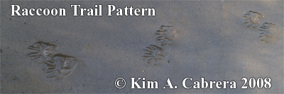 Raccoon trail pattern in sand.  Photo copyright by Kim A. Cabrera 2008.