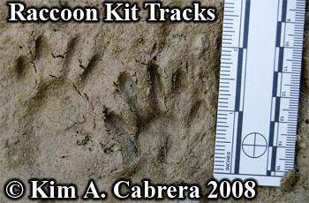 Raccoon kit tracks. Photo copyright Kim A. Cabrera 2008.