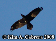 Raven                       in flight. Photo copyright Kim A. Cabrera 2008.