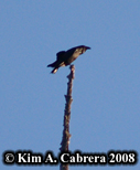 Raven on top of snag tree. Photo copyright Kim A. Cabrera 2008.