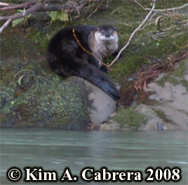 The otter                     on the river bank. Photo Copyright Kim A. Cabrera                     2008.