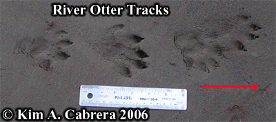 River otter tracks. Photo copyright Kim A. Cabrera 2006.