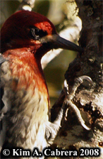 Claws allow the sapsucker to cling to the bark. Photo copyright Kim A. Cabrera 2008.
