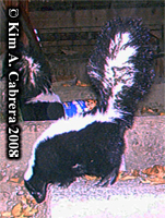 Striped skunk  photo on trail cam. Photo copyright Kim A. Cabrera 2008.