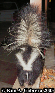 Striped skunk. Photo copyright Kim A. Cabrera 2005.