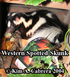 Shy spotted skunk hiding under a building. Photo copyright Kim A. Cabrera 2004.