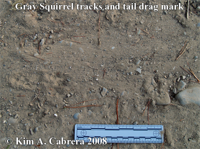 Tail drag marks from a gray squirrel Photo                       copyright by Kim A. Cabrera 2008.