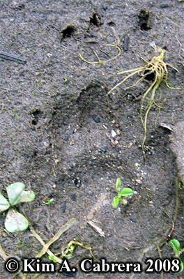 Striped skunk track from front paw. Photo copyright by Kim A. Cabrera 2008.