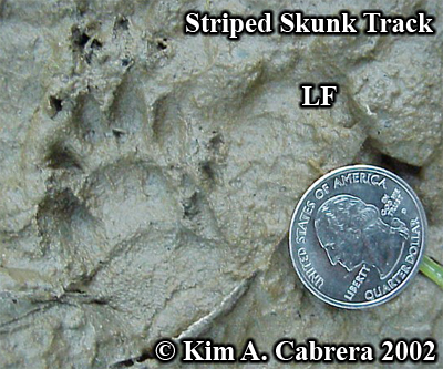 Striped skunk track in mud. Left front paw.