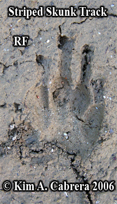 Striped skunk track in mud. Right front paw. Photo copyright by Kim A. Cabrera 2008.