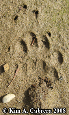 Striped skunk tracks. Photo copyright by Kim A. Cabrera 2008.
