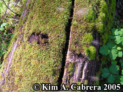 Scuffing of moss on a log. Photo copyright by Kim A. Cabrera 2005.