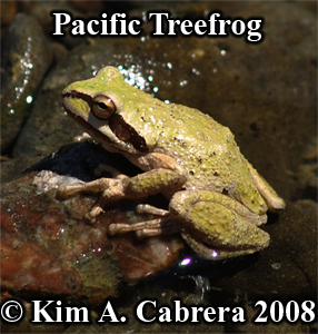 Treefrog enjoying the sun at river's edge.  Photo copyright by Kim A. Cabrera 2008.