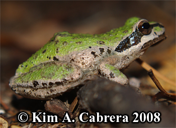 Treefrog on a trail. Photo copyright Kim A. Cabrera 2008.