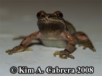 Male treefrog showing chin colorl. Photo copyright Kim A. Cabrera 2008.