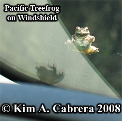 Treefrog on a car windshield. Photo copyright Kim A. Cabrera 2008.