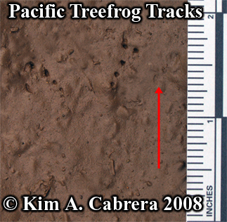 Treefrog tracks. Photo copyright Kim A. Cabrera 2008.