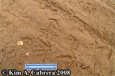 Adult and juvenile turkey tracks. Photo copyright Kim A. Cabrera 2008.