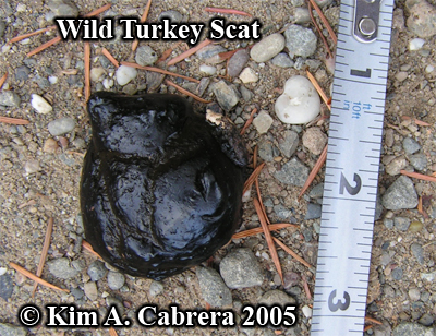 Formless wild turkey scat. Photo copyright by Kim A. Cabrera 2005.
