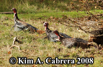 Turkeys resting under a tree during the day.  Photo copyright Kim A. Cabrera 2008.