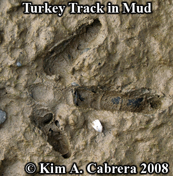 Turkey track in firm mud. Photo copyright Kim A. Cabrera 2008.