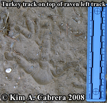 wild turkey track on top of raven track. Photo copyright by Kim A . Cabrera 2008.
