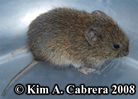 California vole. Photo copyright Kim A. Cabrera 2008.